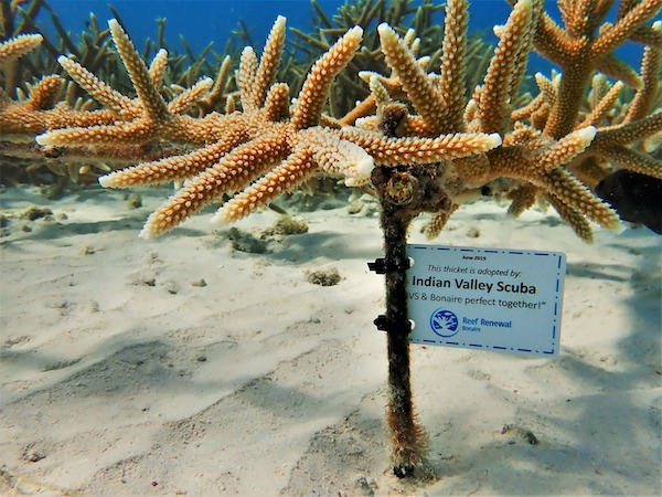 adopt a coral bonaire reef