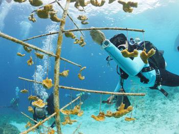 coral restore bonaire