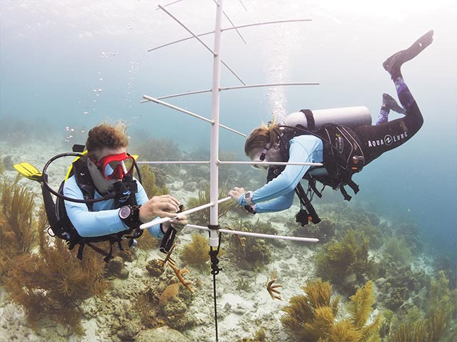 RRFB staff hangs the initial staghorn fragments on a coral nursery tree at Bachelor's Beach.