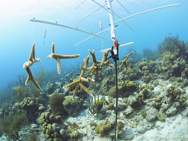 Staghorn coral fragments hang in the pop-up nursery at Punt Vierkant.