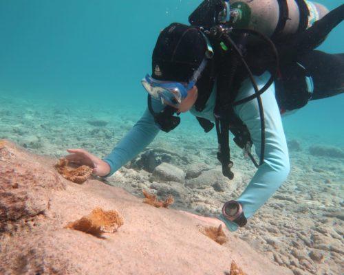 Sedona outplanting elkhorn coral